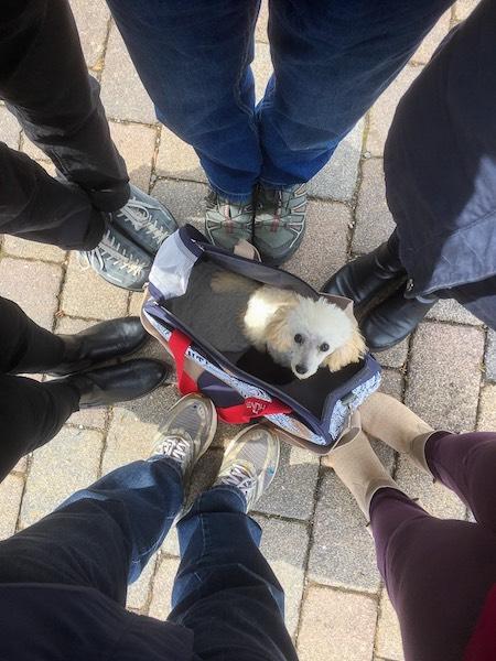 Toypudel, Pudel, Pudelwelpe, Gruppenbild mit Hund