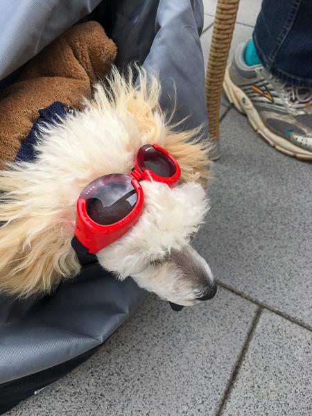 Pudel, Toypudel, Sonnenbrille, Windschutz, AbenteuerWomo, Sally